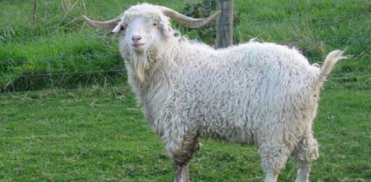 What Do You Know About The Angora Goat?