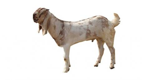 How Well Do You Know The Jamunapari Goat?