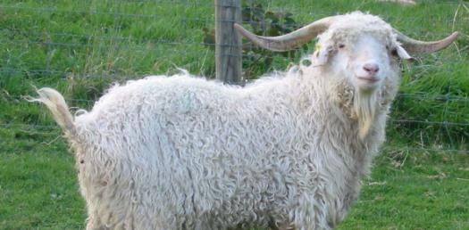 How Well Do You Know The Pygora Goat?