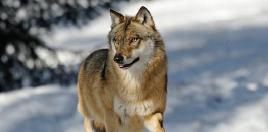 What You Look Like As A Wolf