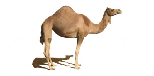 How Much Do You Know About Camel?