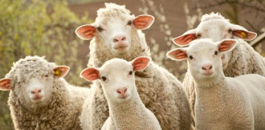 Sheep care And Types! Trivia Facts Quiz