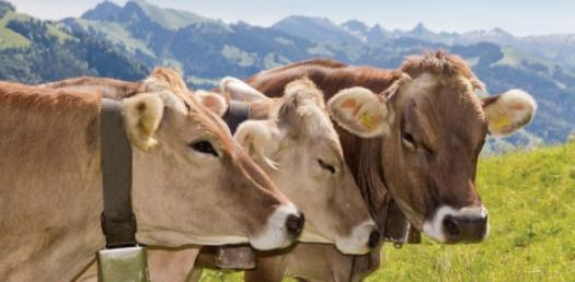 Brown Swiss Cattle Quiz