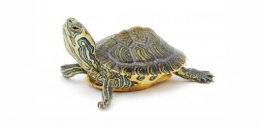 Nap Turtle ID Quiz