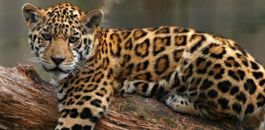 The Vegeterian Leopard