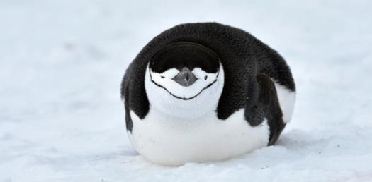 What Do You Know About The Chinstrap Penguin?