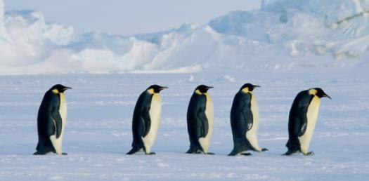 Penguin Chick Quiz