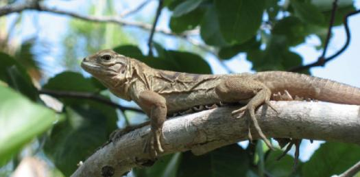 Ultimate Quiz About The Jamaican Rock Iguana