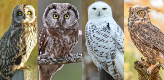 What Type Of Owl Are You?