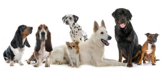 What Dog Breed Is Right For Your Family? - ProProfs Quiz