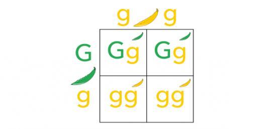 Biology: Genetics And Punnett Squares Quiz!