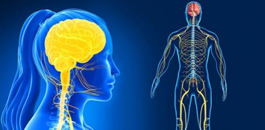 Anatomy And Physiology Nervous System Quiz Trivia
