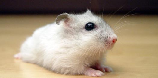 Can You care For A Hamster?