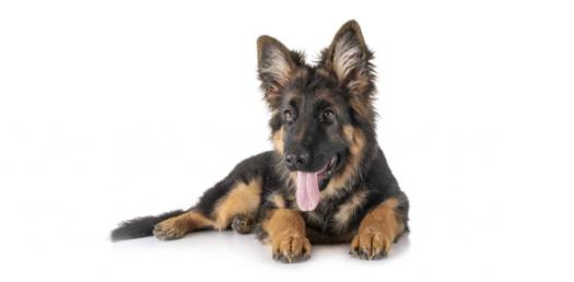 How Well Do You Know The German Shepherd?