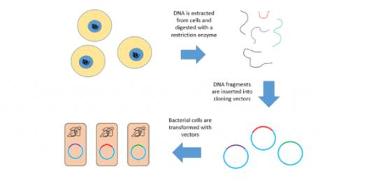 Quiz Genomic Libraries & Cdna Libraries