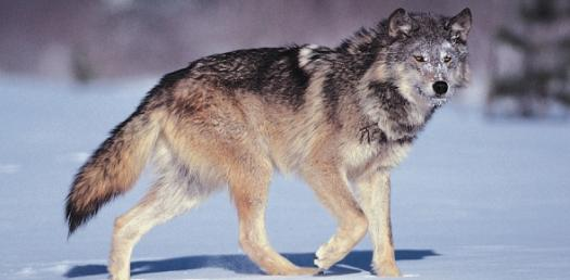 What Would You Look Like As A Wolf?