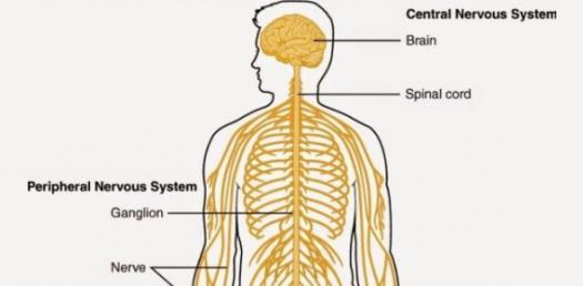Autonomic/Somatic Nervous System