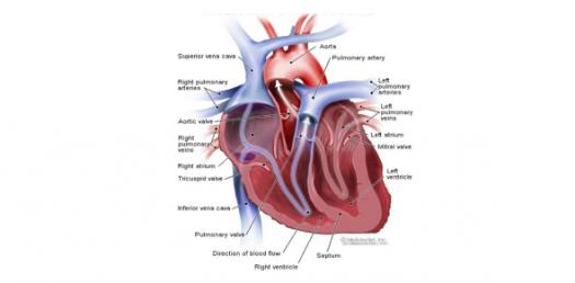 Assessment Heart And Neck Vessels