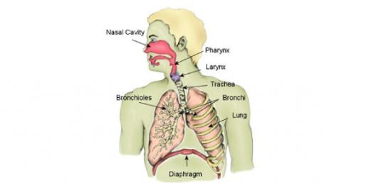 Respiratory System - Responses To Exercise