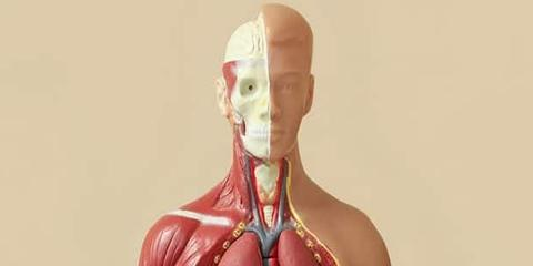 Anatomy & Physiology: Body Cavities And Anatomical Directions