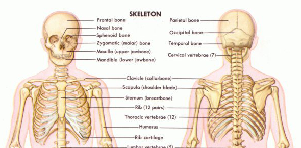 Quiz On Human Skeletal System Proprofs Quiz