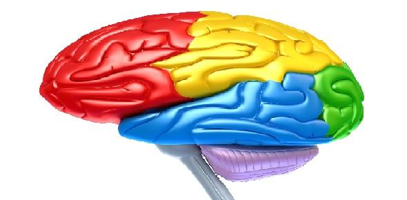 Parts Of The Brain Quiz - ProProfs Quiz