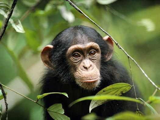 chimpanzee Quizzes & Trivia