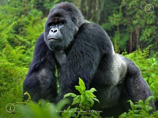 Test Your Knowledge About Gorillas
