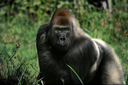 Do You Know Everything About Wild Gorillas