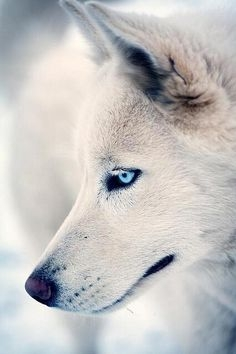 Black wolf with blue eyes drawing - photo#40