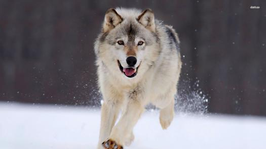 What Wolf Are You