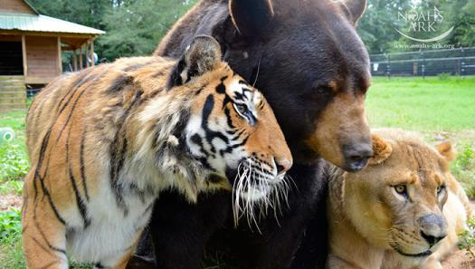 Image result for lion tiger bear picture