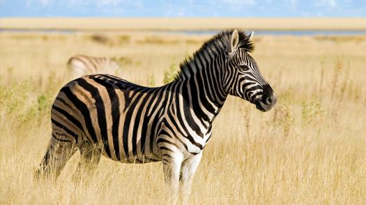 Do You Really Know About Zebras? Trivia Quiz