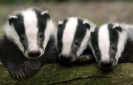 Trivia Quiz: How Well Do You Do You Know About Badgers?
