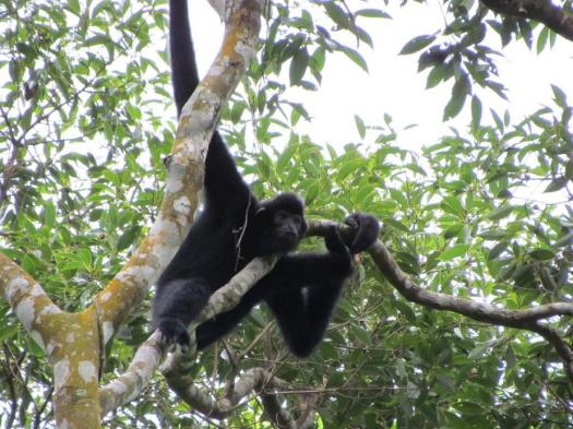 What Do You Know About The Hainan Gibbon