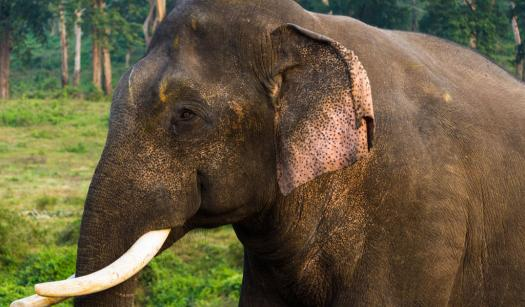What Do You Know About The Male Asian Elephant