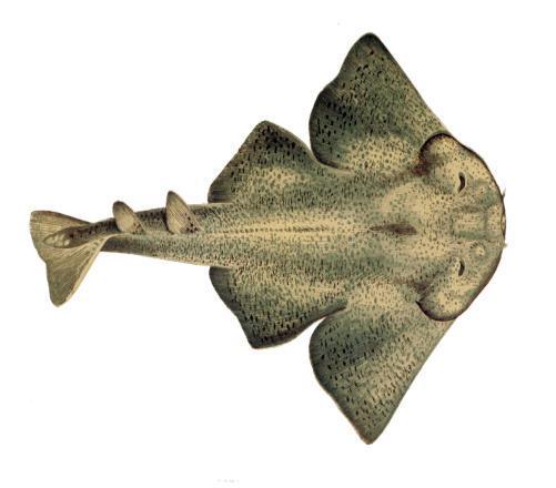 Do You Know Angel Shark (Aka Squatina Squatina)