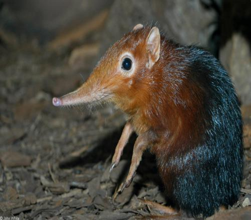 What Do You Know About Boni Giant Sengi (Formerly Known As Elephant Shrew)?