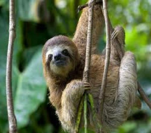 How Well Do You Know Pygmy Three-toed Sloth?