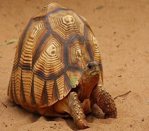 What Do You Know About Plougshare Tortoise (Aka Angonoka)?