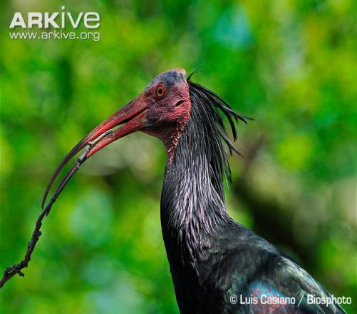 How Well Do You Know Northern Bald Ibis?