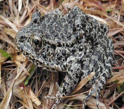 What Do You Know About Dusky Gopher Frog?