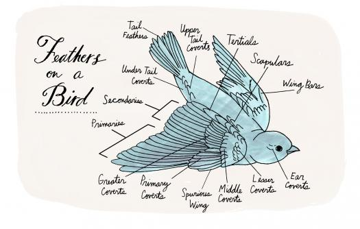 What Do You Know About Feathers Anatomy?
