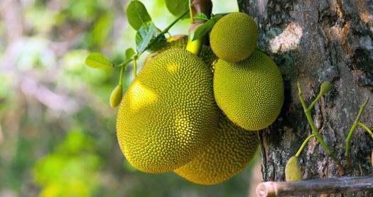 Do You Know Anything About The Jackfruit?