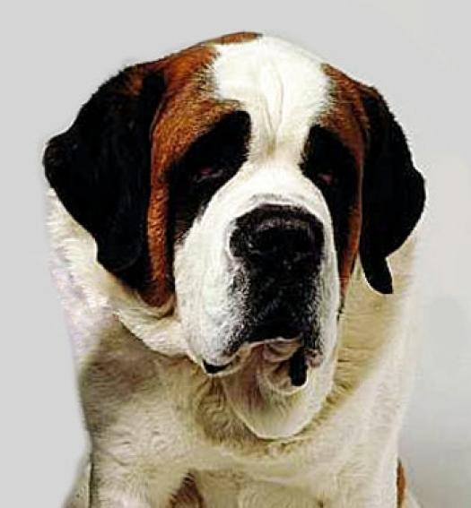 Should You Get A St. Bernard?
