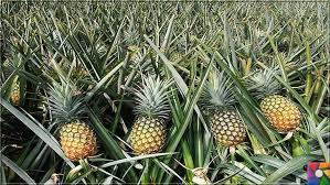 Interesting Quiz About Pineapple