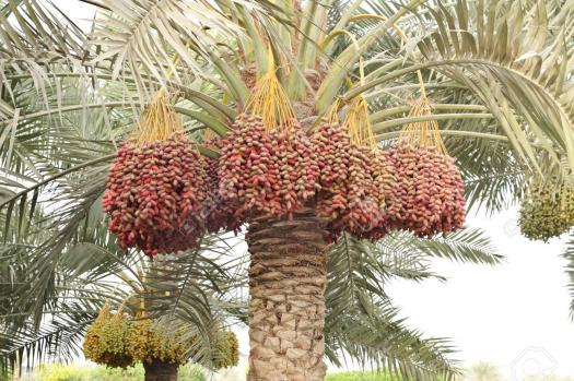 What Do You Know About The Date Palm Fruit?
