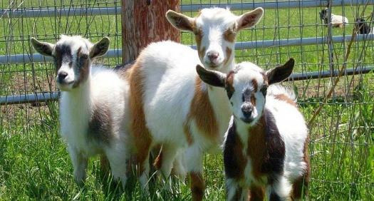 Test Your Knowledge About The Nigerian Dwarf Goat