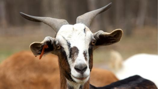 What Do You Know About The Kiko Goat?