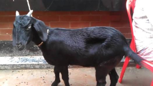 Black Bengal Goat Quiz